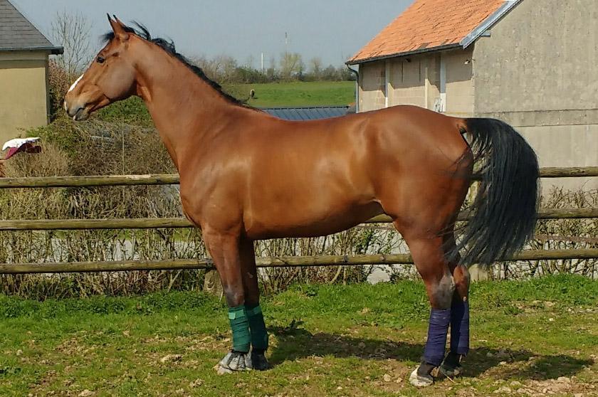 chevaux selle français a vendre